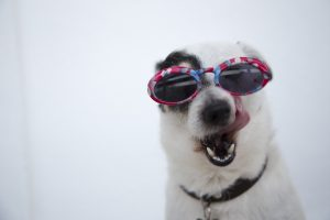 dog wearing sunglasses with teeth showing