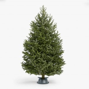Real Fraser Fir Christmas Trees 5ft To 8ft