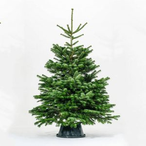Real Nordmann Fir Christmas Tree Sizes 5ft To 8ft